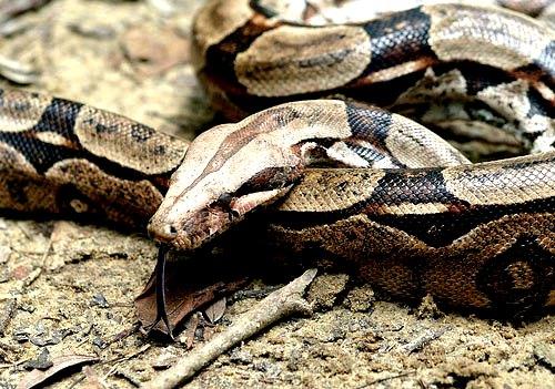 Serpientes de Puerto Rico